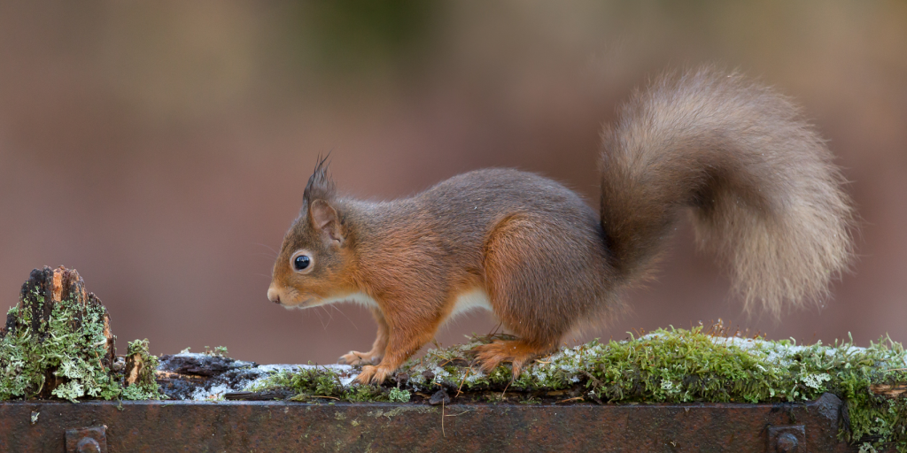 Red squirrel poised to leap off mossy log