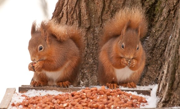 2 red squirrels eating nuts