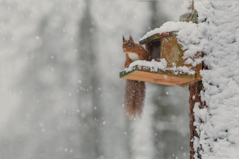 Red squirrel on snow-covered feeder box