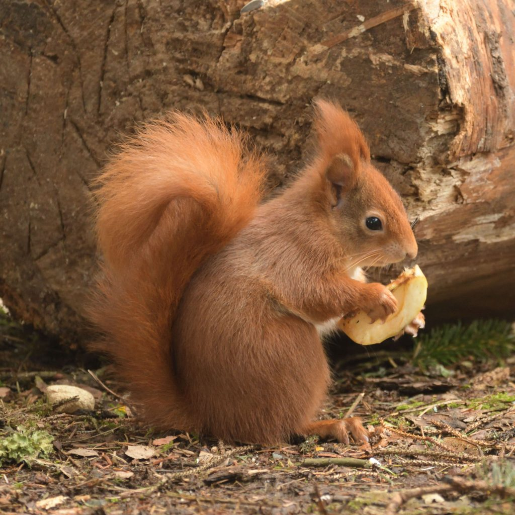Small red squirrel holding apple slice