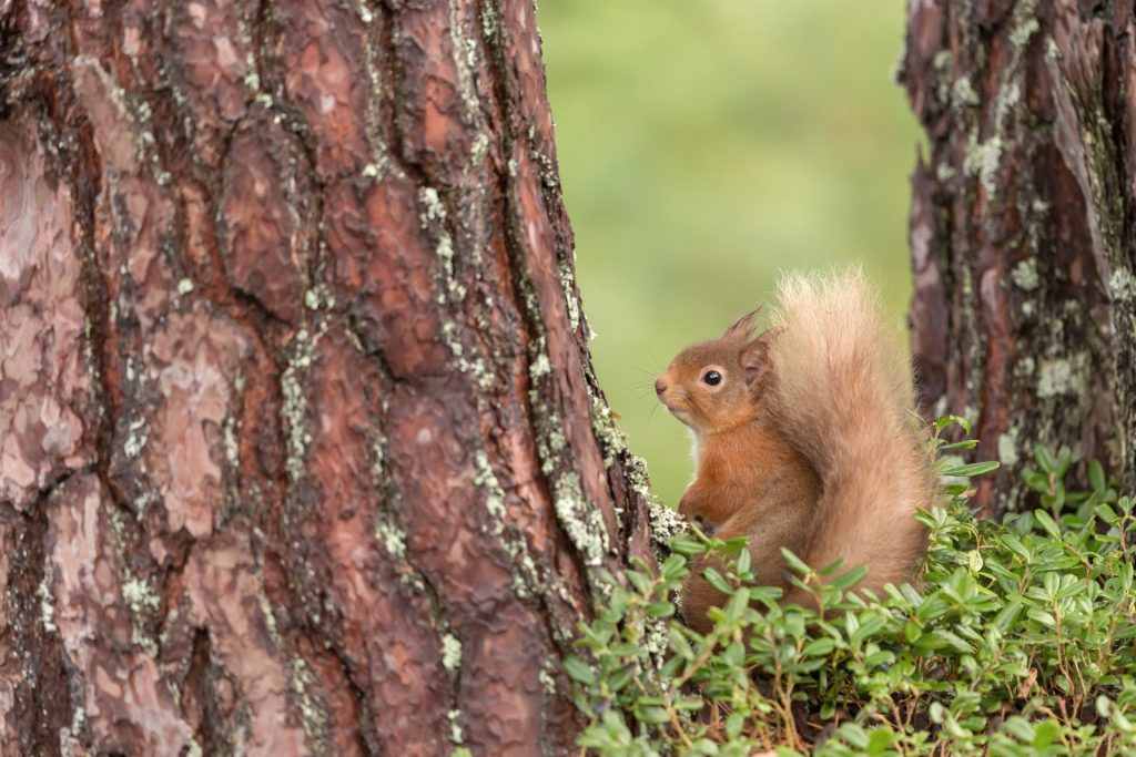 Red squirrel perched between two tree trunks, looking back at camera