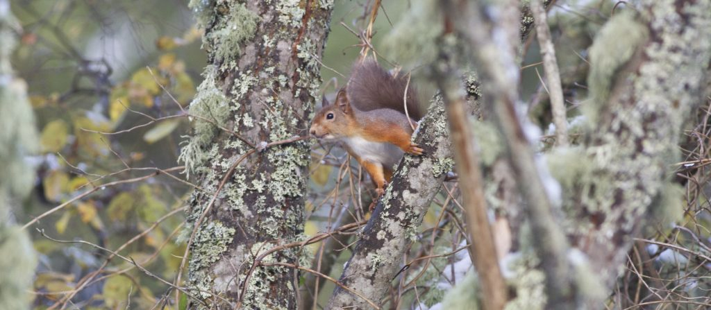 Red squirrel amongst lichen-covered branches