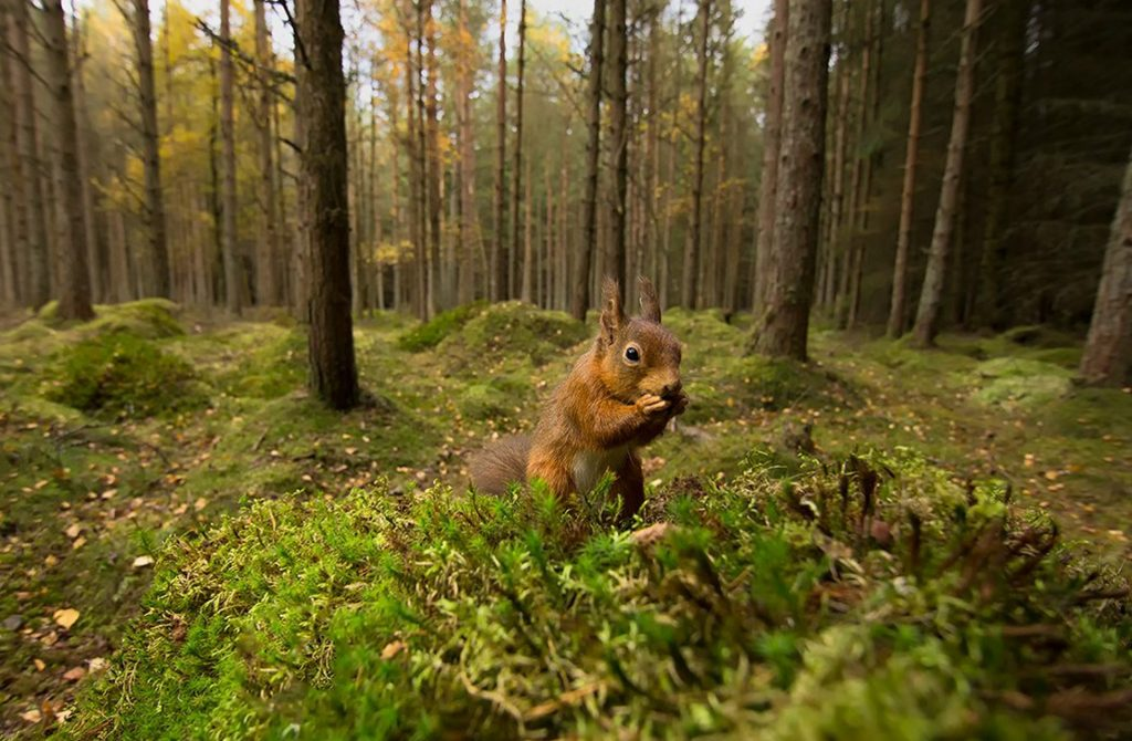 Red squirrel on mossy forest floor clutching claws together