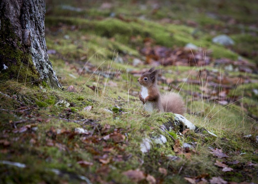 Red squirrel in autumn on grassy forest floor looking up at tree