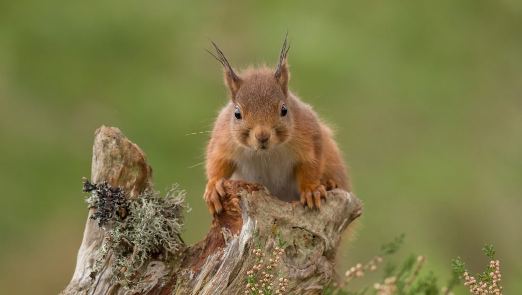 Red squirrel peering over tree stump, green background