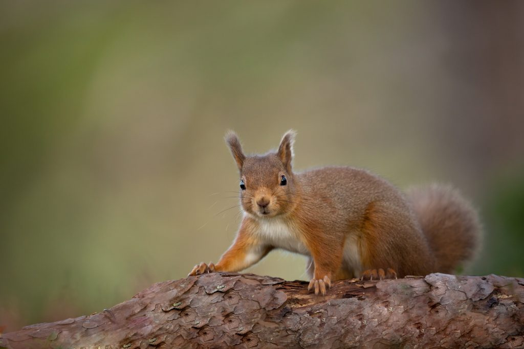 Red squirrel on log looking at camera with green background