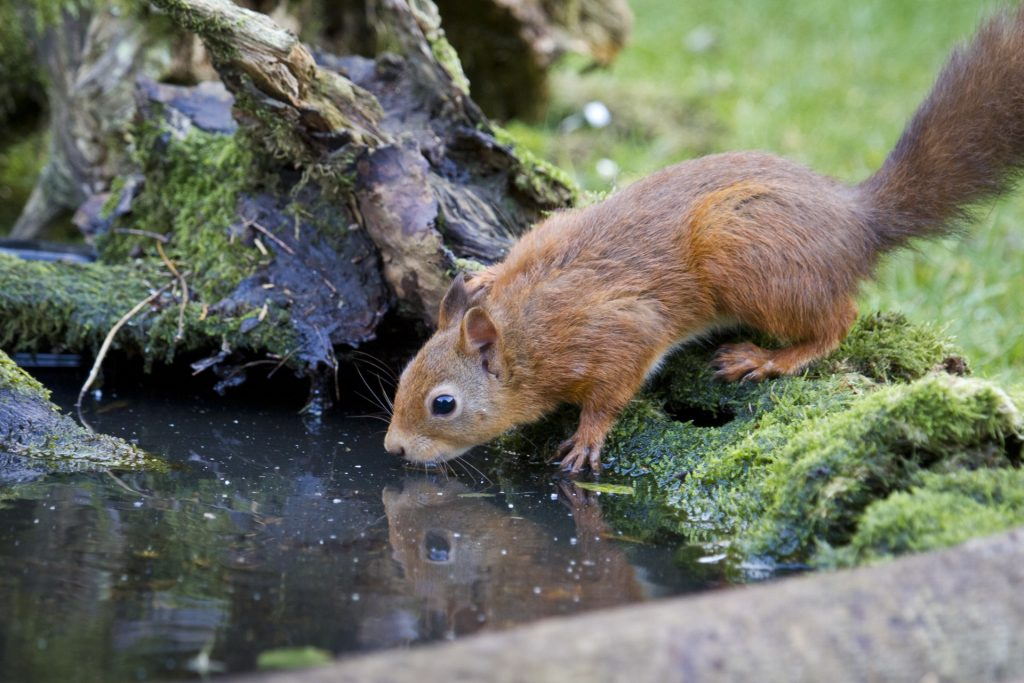 Red squirrel crouching to drink at shallow pool of water