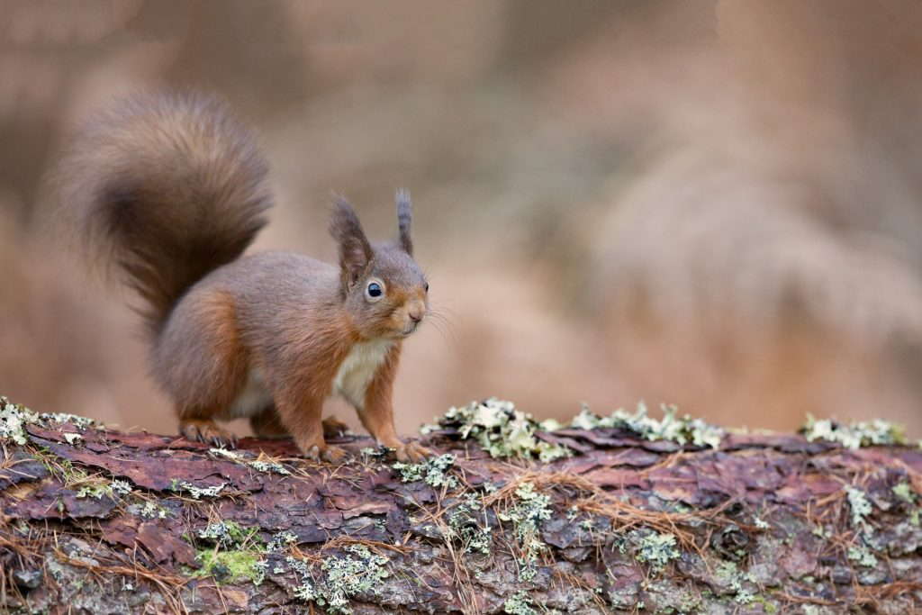 Red squirrel on lichen-covered log, bushy tail, brown background