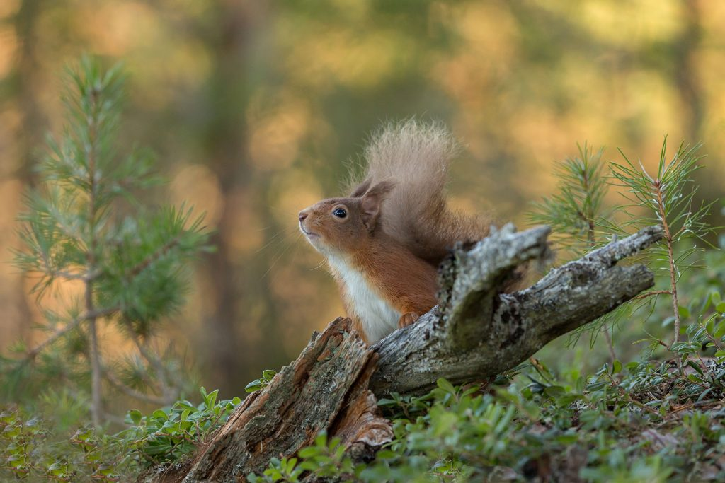 Red squirrel peering over log, tail in air and nose pointed to the sky