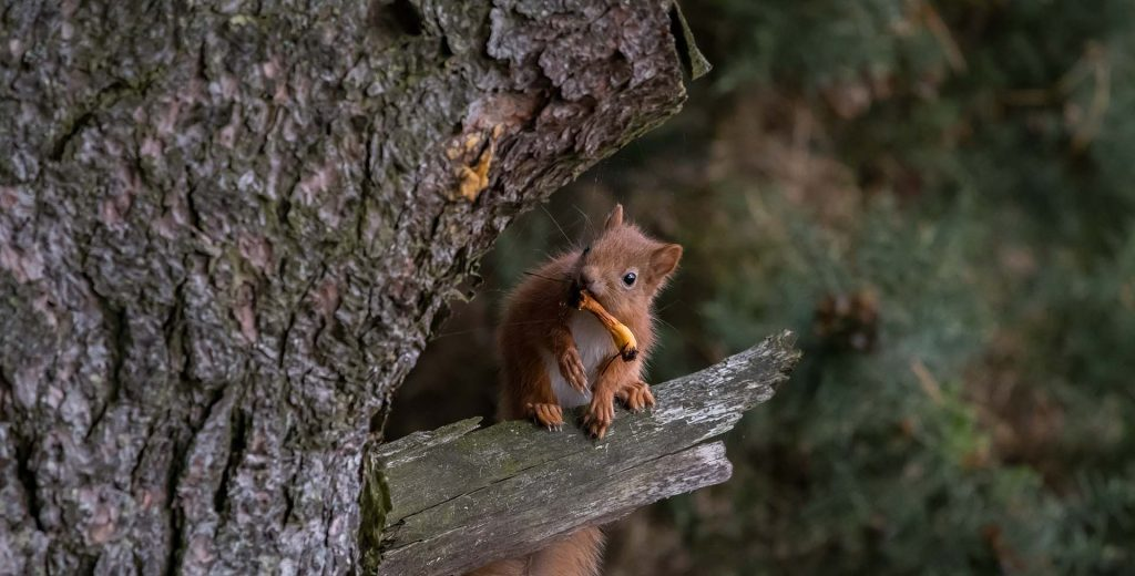 Red squirrel on branch with yellow fungi in mouth