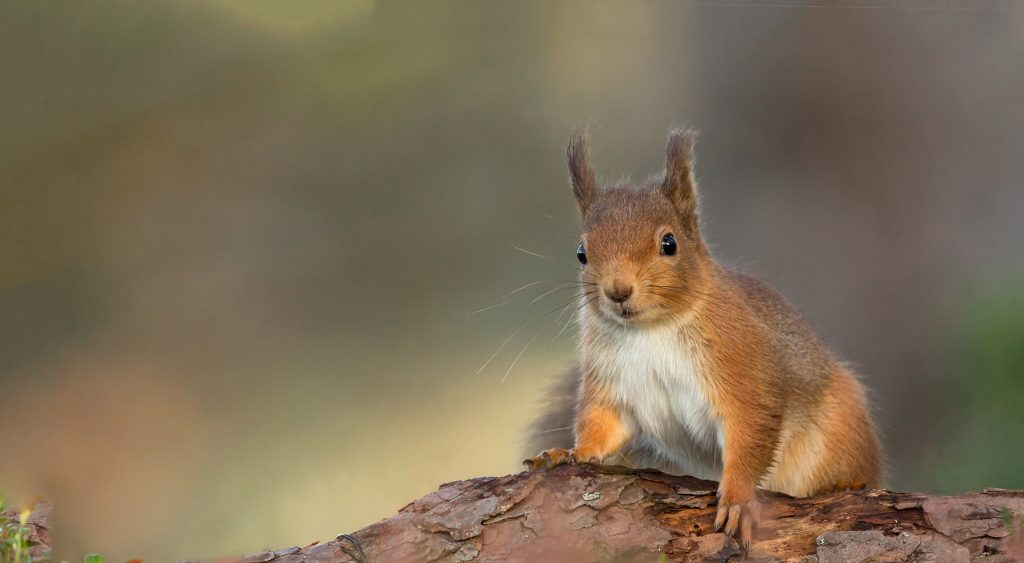 Red squirrel on brand looking at camera