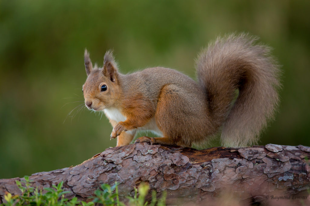 Red squirrel © Raymond Leinster