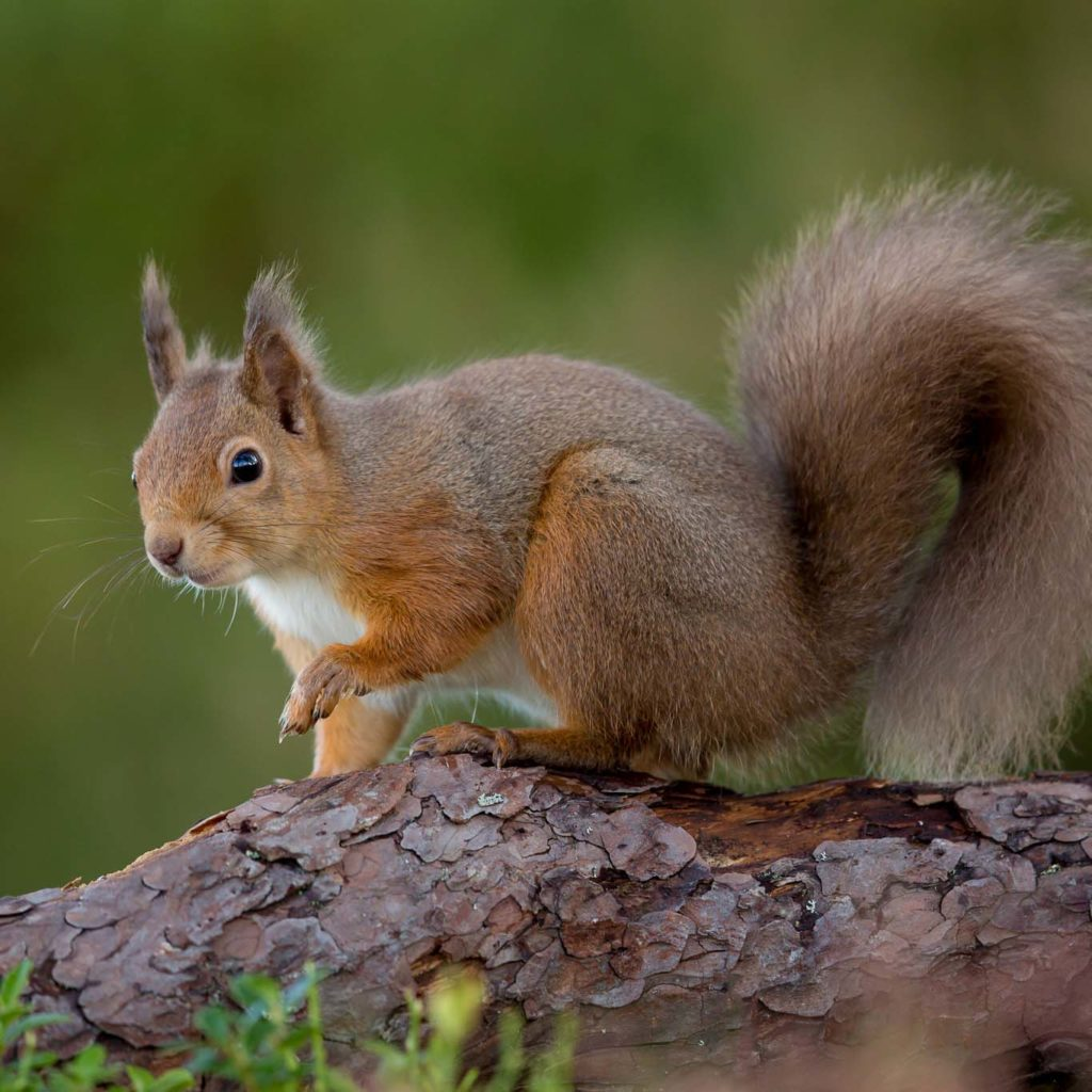 Red squirrel on branch with one paw raised, tail curled downward