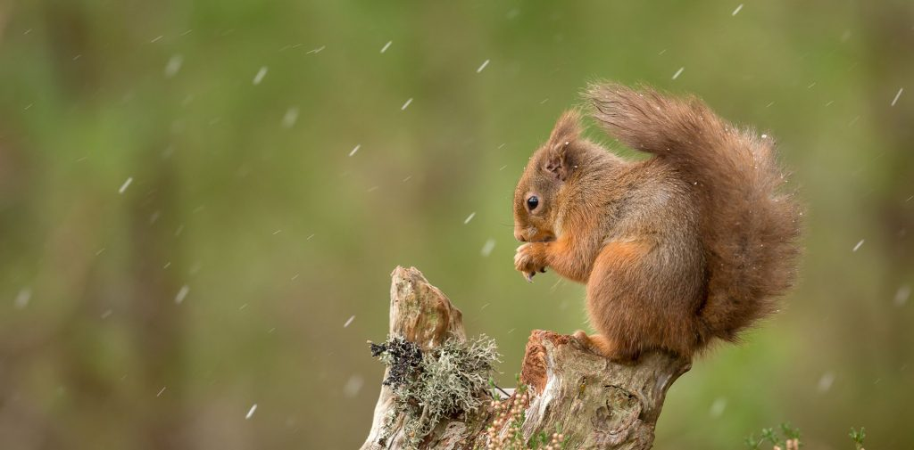 Red squirrel hunched over on top of stump, green background with light snow / sleet