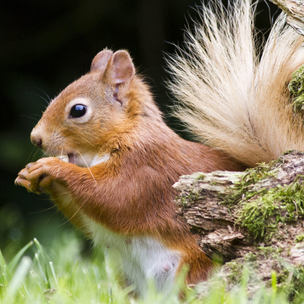 Red squirrel with blonde tail