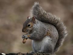 Grey squirrel holding peanut