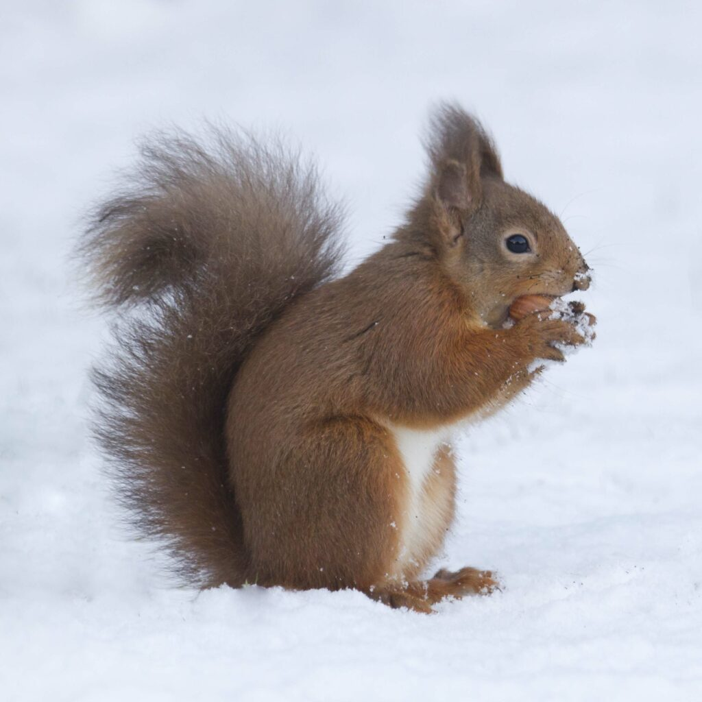 Red squirrel in snow holding nut