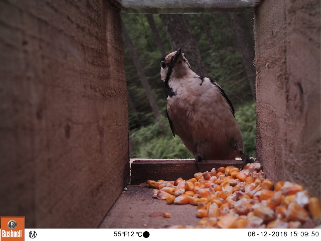 Woodpecker leaning back on opening to wooden box filled with maize