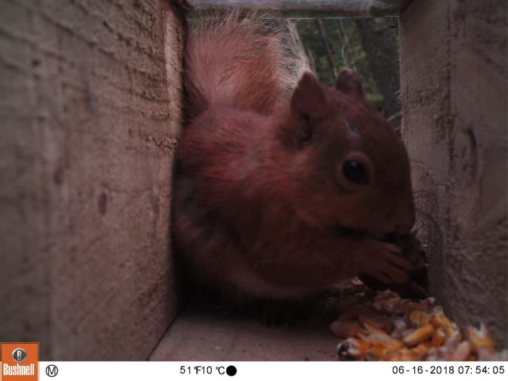Red squirrel feeding at camera trap box