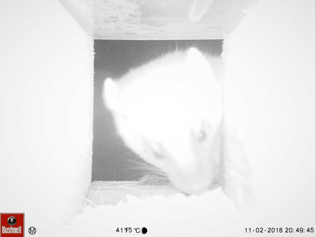 Black and white image of pine marten's head peeing into camera trap box