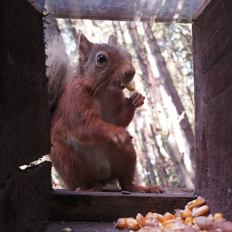 red squirrel with maize in mouth looking through camera trap box