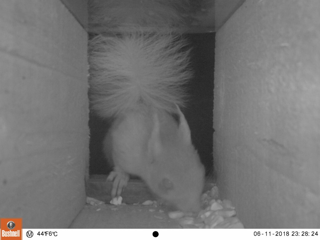 Black and white camera trap image of squirrel entering box and eating maize