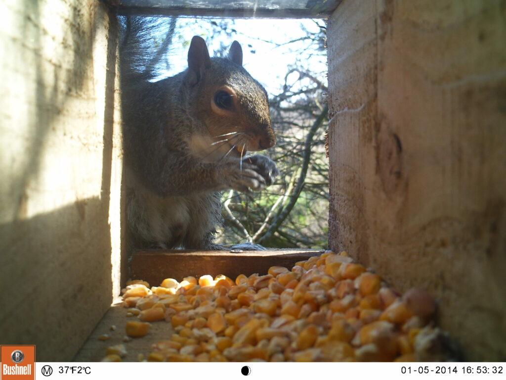 Grey squirrel looking at camera while feeding on maize inside wooden box