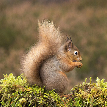 How many red squirrels are there in Scotland?