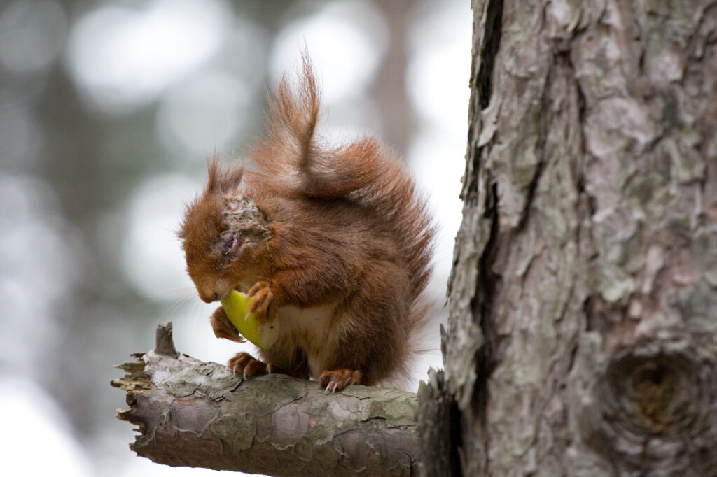 a red squirrel with lesions across face and ear sitting in tree holding apple slice