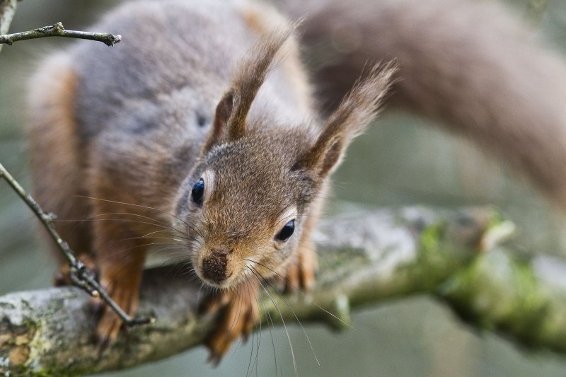 Red squirrel (c) Harry Hogg