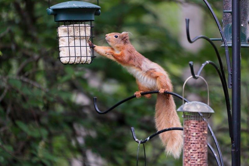 Red squirrel at bird feeder
