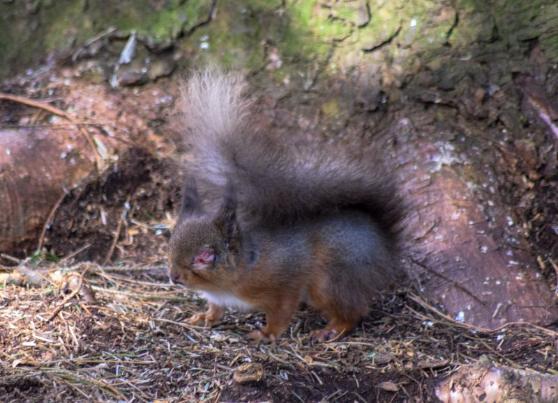 Red squirrel with pox