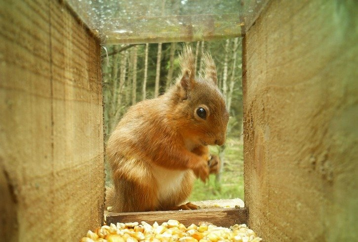 Red squirrel in feederbox