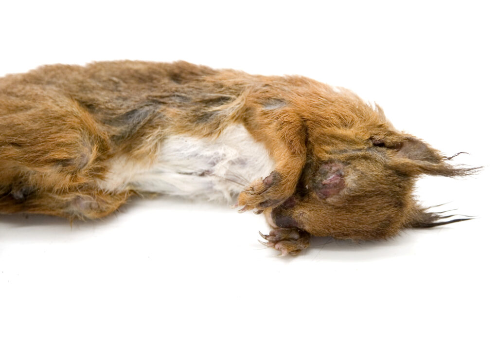 red squirrel corpse