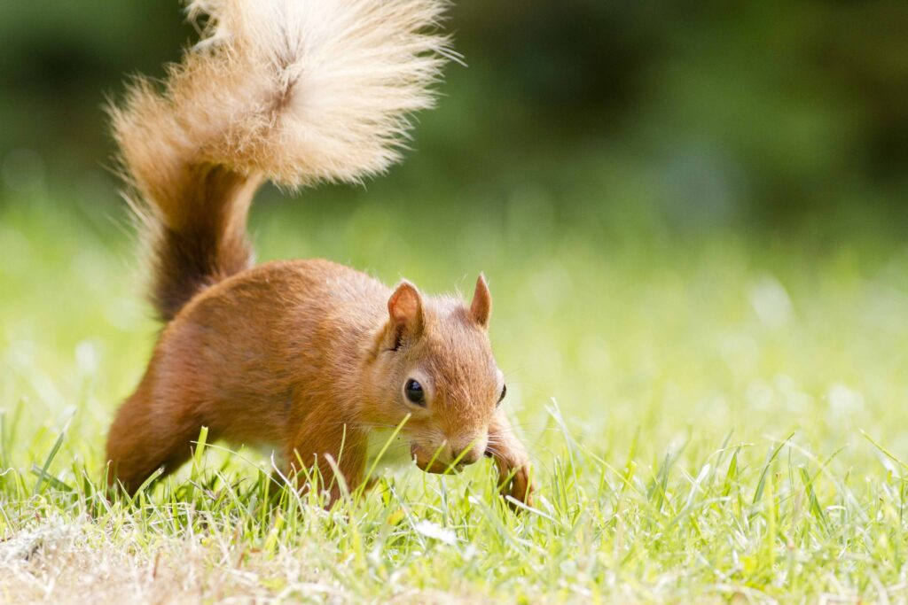 Red squirrel walking across lawn