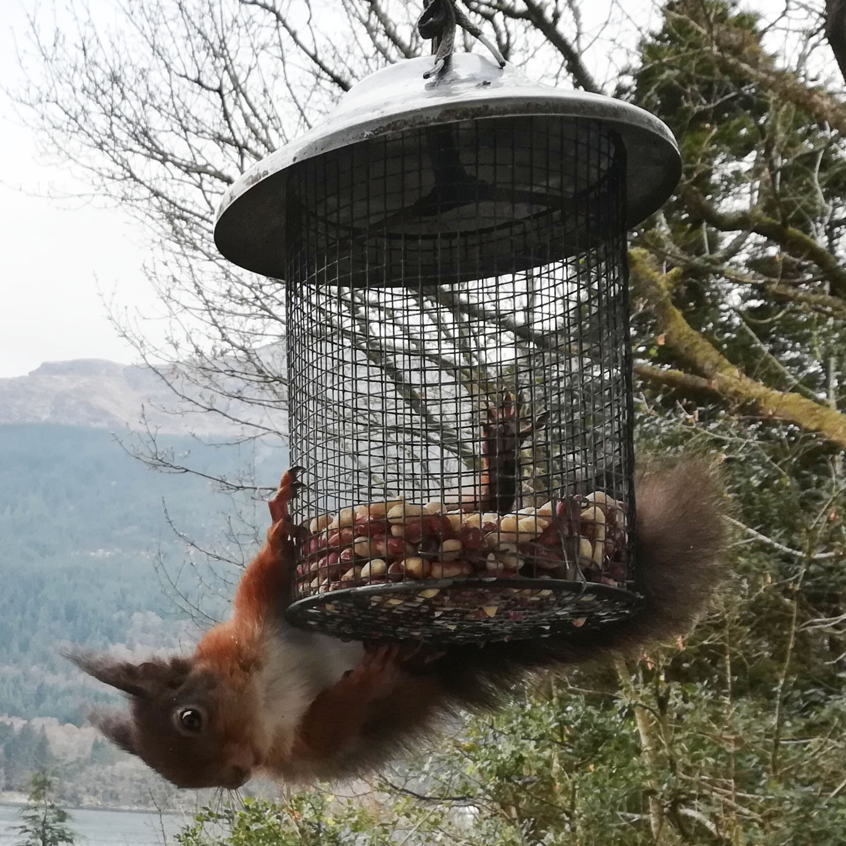 A red squirrel first for Luss Estate