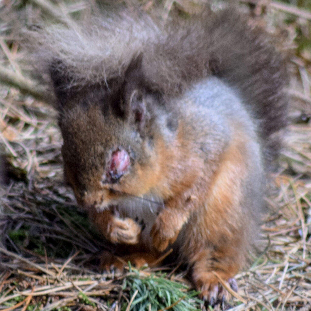 Red squirrel with red sore over its eye