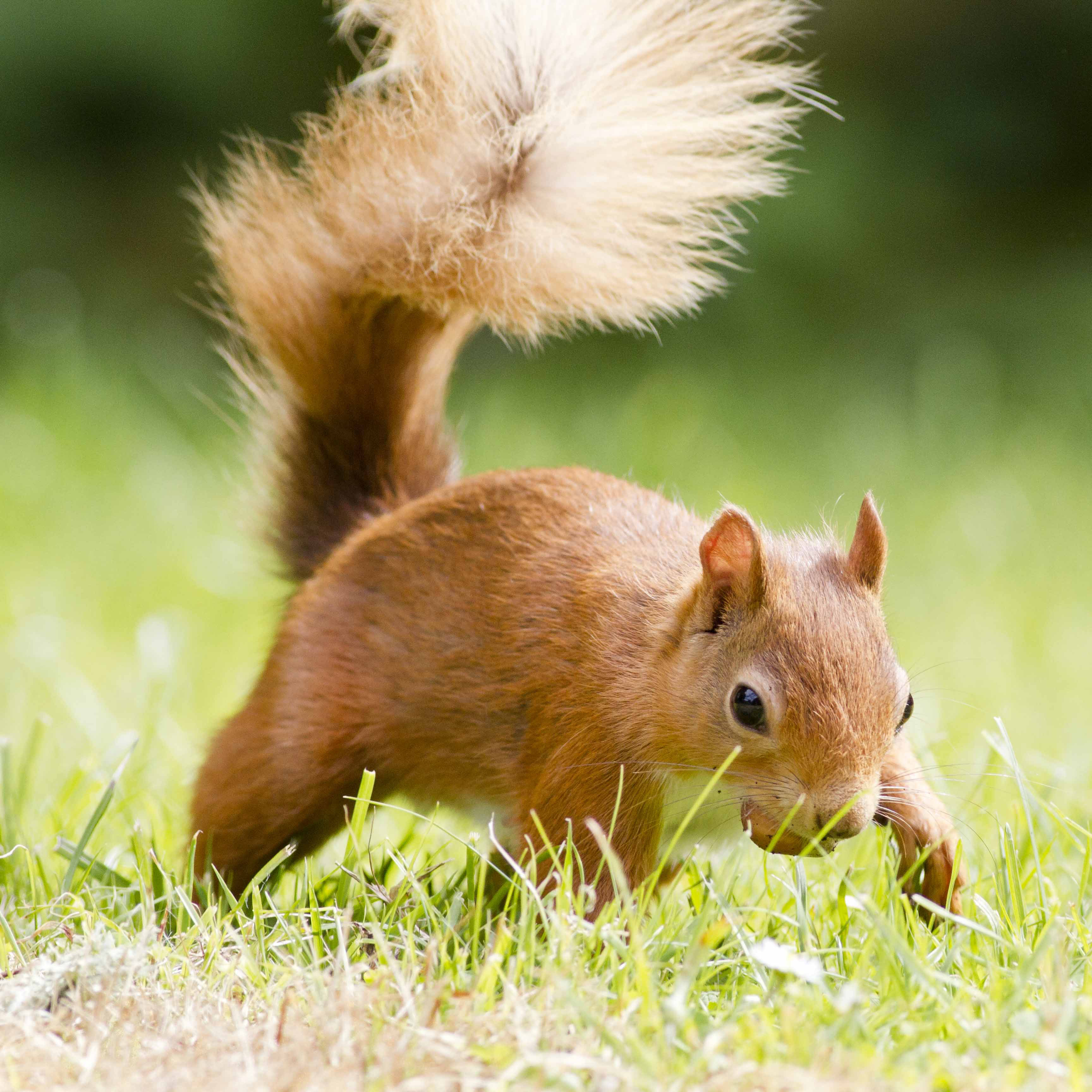 Gardening for red squirrels