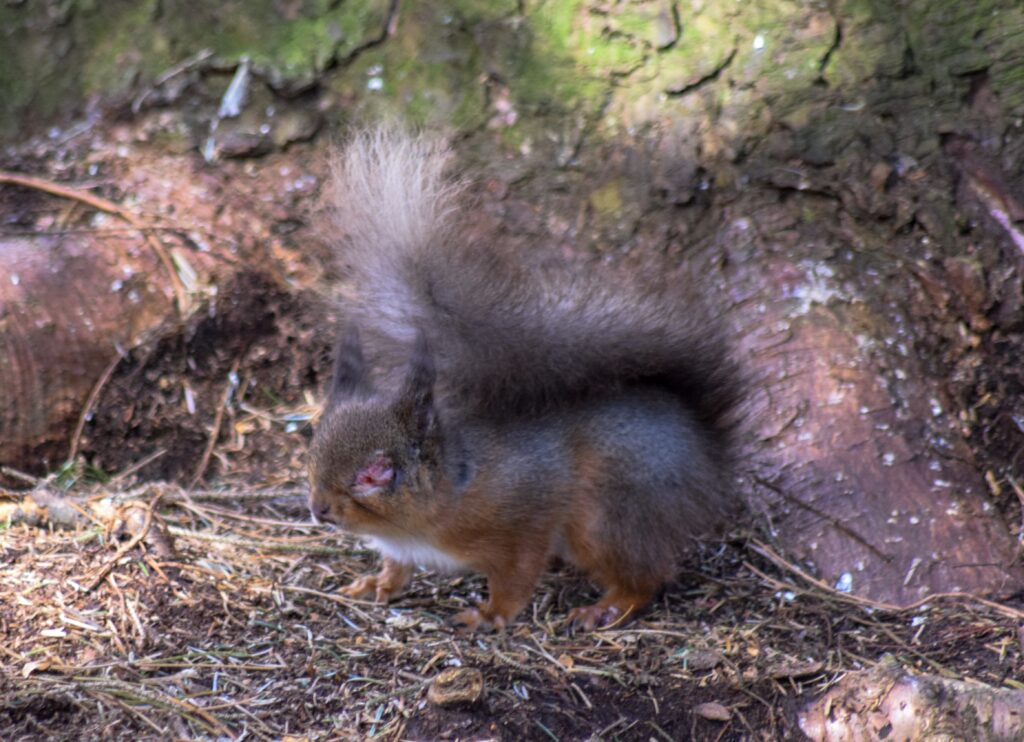 Red squirrel on ground with red and swollen eye