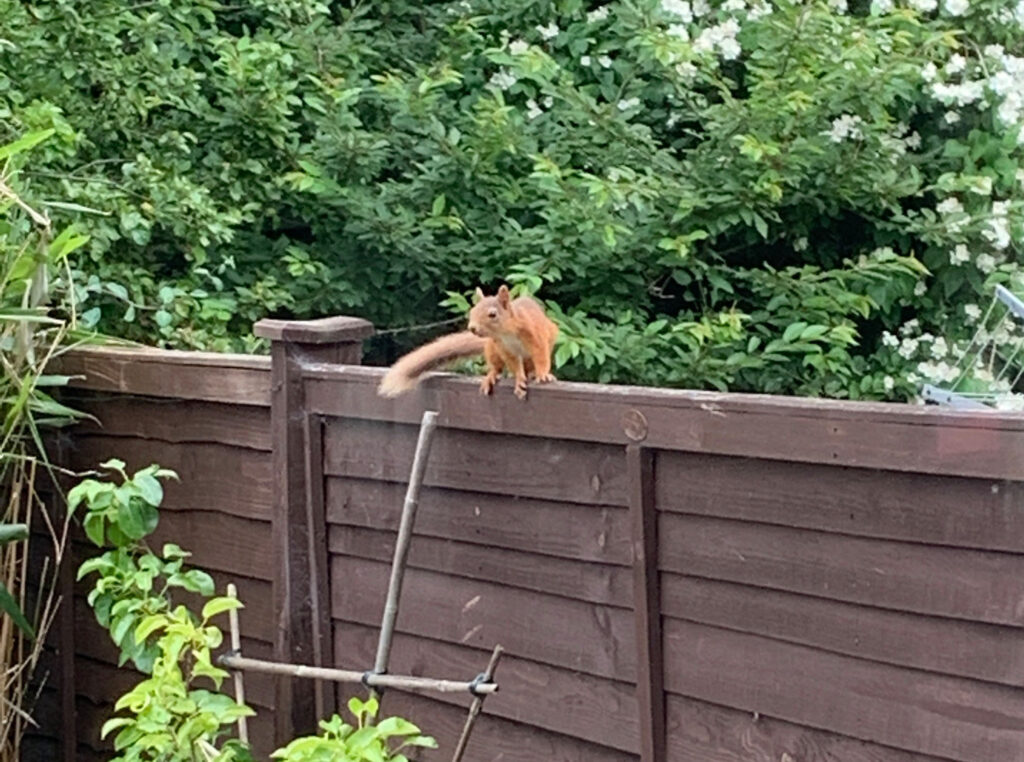 red squirrel on garden fence