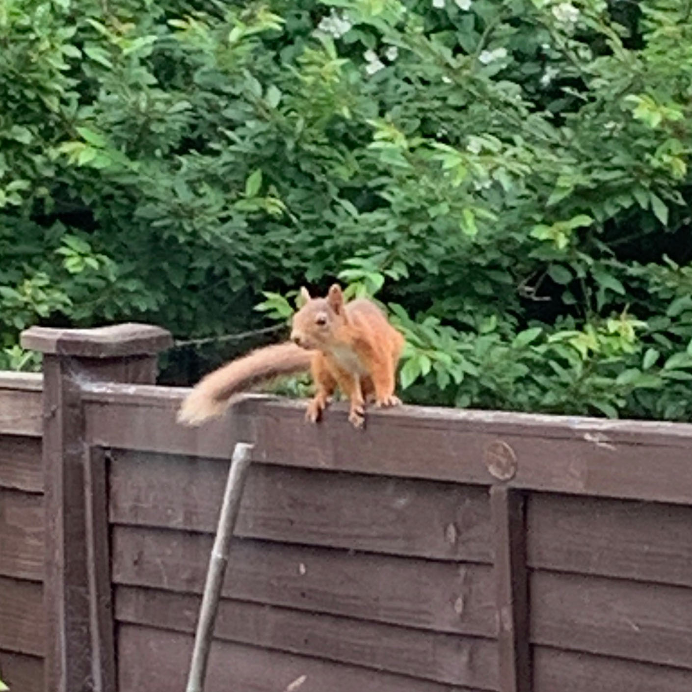 News: Duthie Park sighting marks a giant leap for Aberdeen's red squirrels