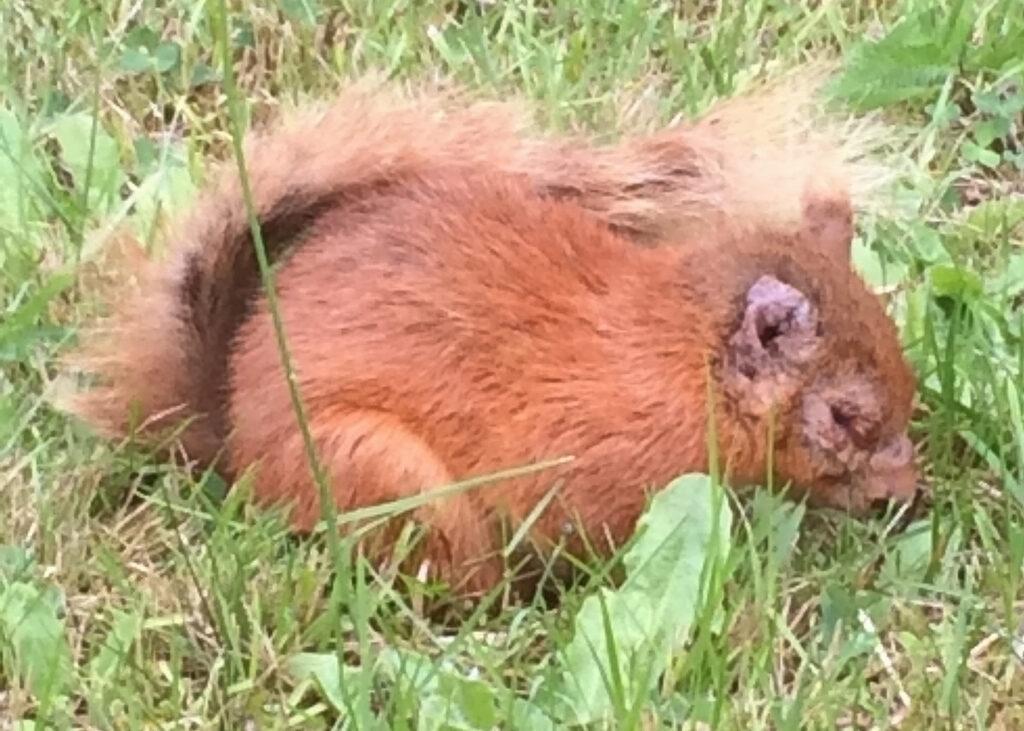Squirrelpox Sighting