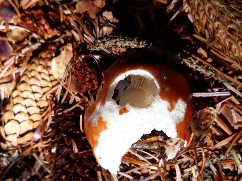 Squirrel-Eaten Mushroom