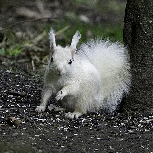News: Rare white red squirrel spotted in Tayside