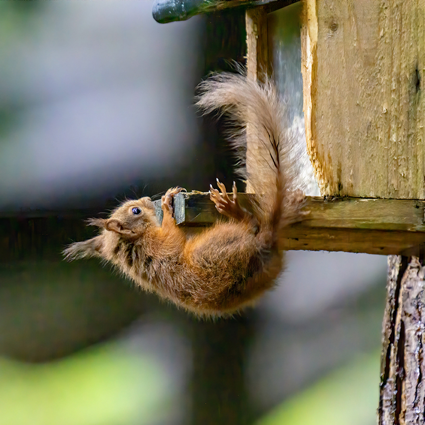 News: Call to report squirrel sightings in Stirling