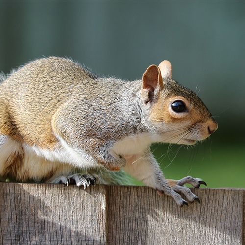 News: Perthshire residents on red alert after grey squirrel sightings in Aberfeldy