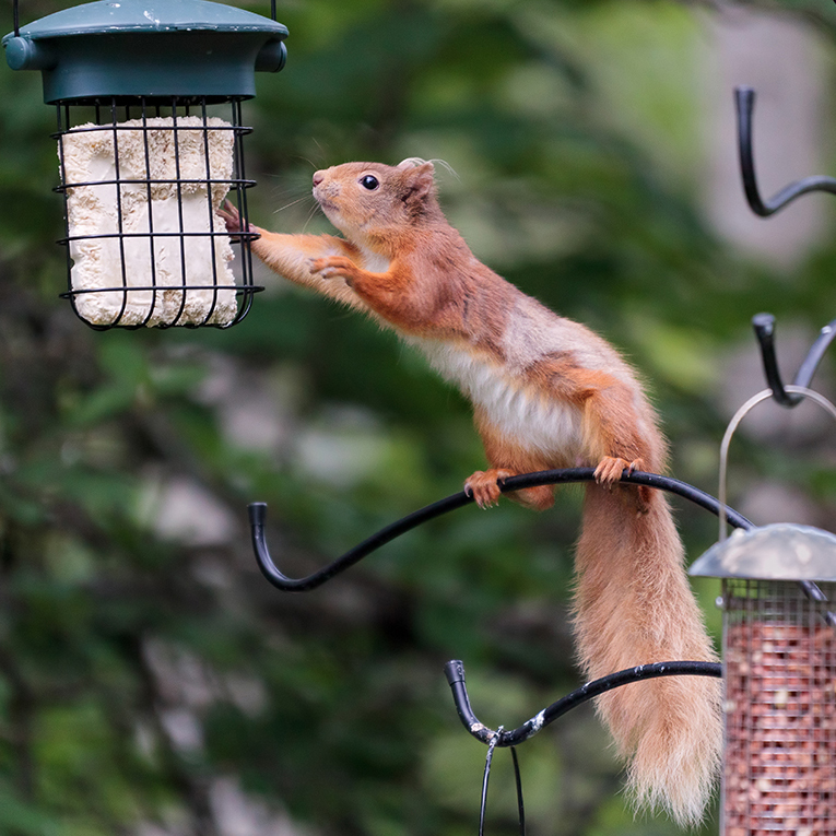 Keeping track of red squirrel numbers in gardens around Gatehouse of Fleet