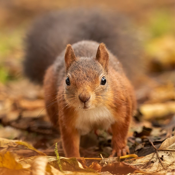 Argaty's red squirrels are back in full force