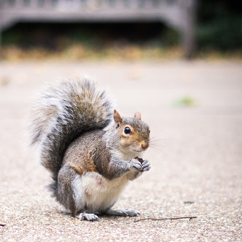 News: New research underway to trace the steps of urban squirrels