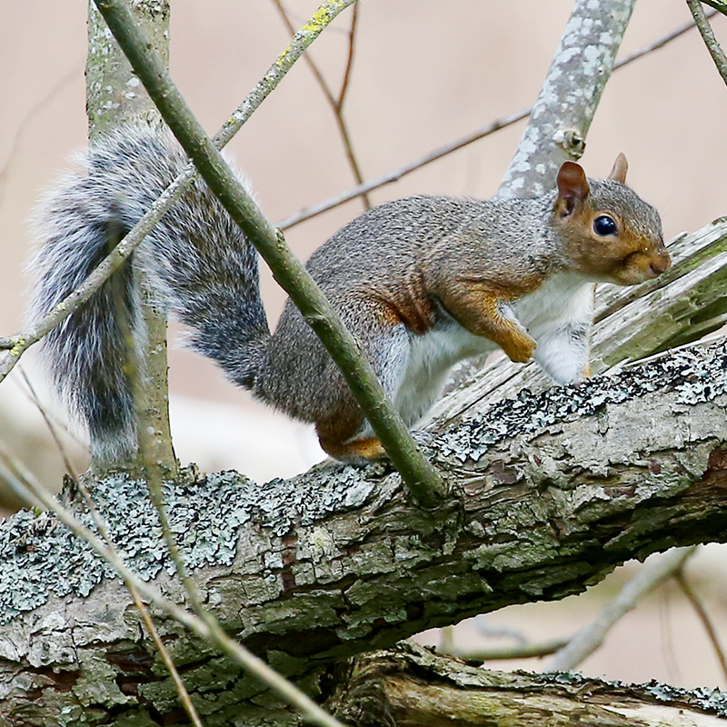 News: Help stop the spread of grey squirrels in the Mearns
